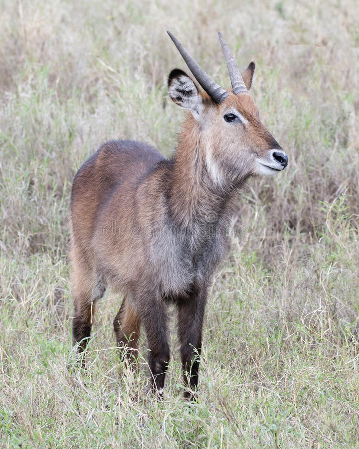 Frontview of one male Waterbuck standing in grass with head raised. In the Serengeti National Park, Tanzania royalty free stock photos