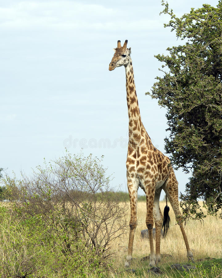 Frontview of single giraffe standing by a tree with blue sky in background. Frontview of a single giraffe standing by a tree with blue sky in the background in royalty free stock photos