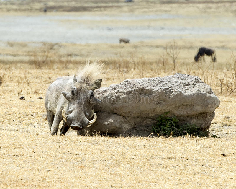 Frontview of a single warthog rubbing his side on a large rock. In the Ngorongoro Conservation Area, Tanzania royalty free stock photos