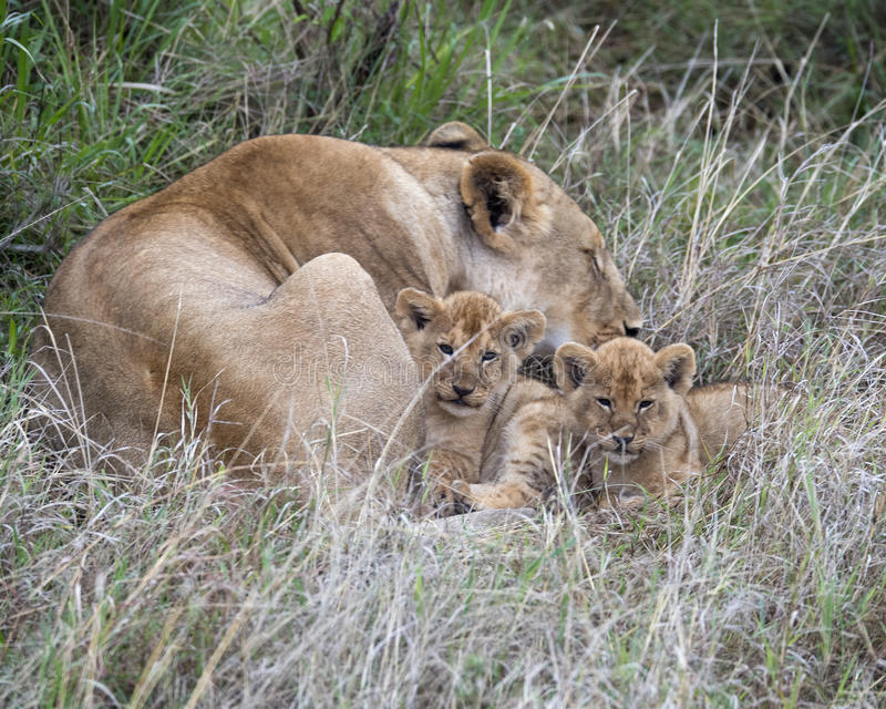Frontview of two cubs resting by sleeping mother lioness in grass. Frontview of two cubs resting by mother lioness who is sleeping in the grass in the Masai Mara royalty free stock image