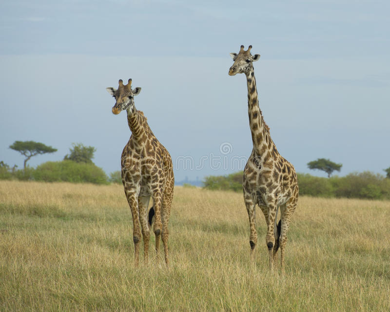 Frontview of two giraffe standing beside each other in grass. In the Masai Mara National Reserve, Kenya stock image