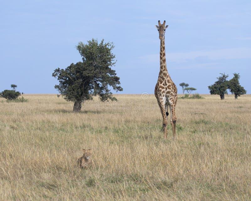 Frontview van giraf die een leeuwin in gras met blauwe hemel op de achtergrond achtervolgen royalty-vrije stock foto's