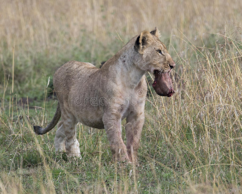 Frontview of young lioness standing in grass with animal head in mouth. In the Masai Mara National Reserve, Kenya stock image