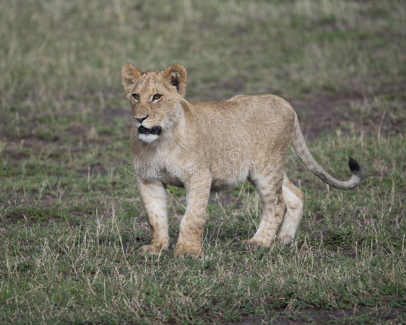 Frontview of young lioness standing in short green grass. In the Masai Mara National Reserve, Kenya royalty free stock photography