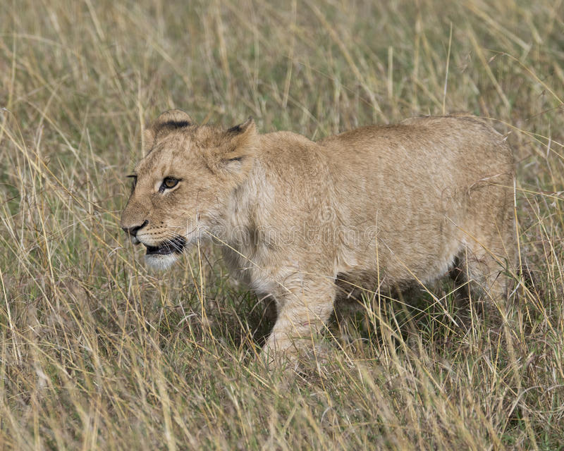 Frontview of young lioness walking through grass. In the Masai Mara National Reserve, Kenya royalty free stock image