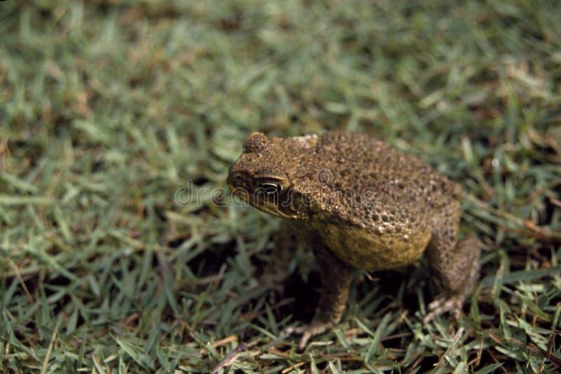 Frosch stockfotografie