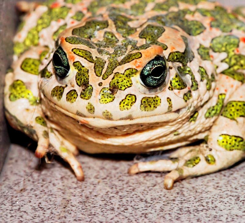 Frosch auf Blatt, digitales Fotobild als Hintergrund stockbild