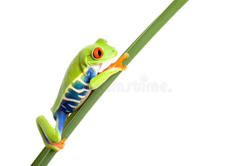 Frosch auf Blatt getrenntem Weiß stockfotos