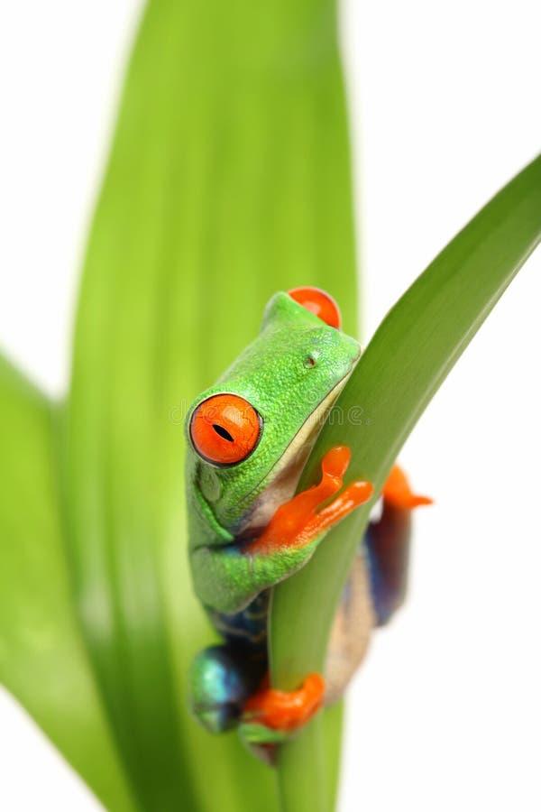 Frosch auf einem Blatt lizenzfreie stockfotografie