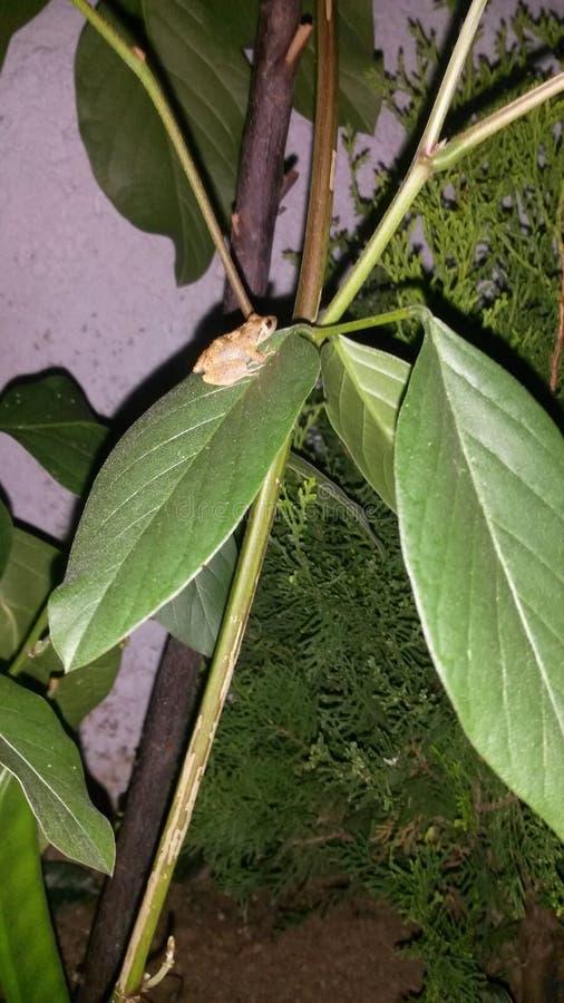 Frosch auf einem Blatt lizenzfreie stockbilder