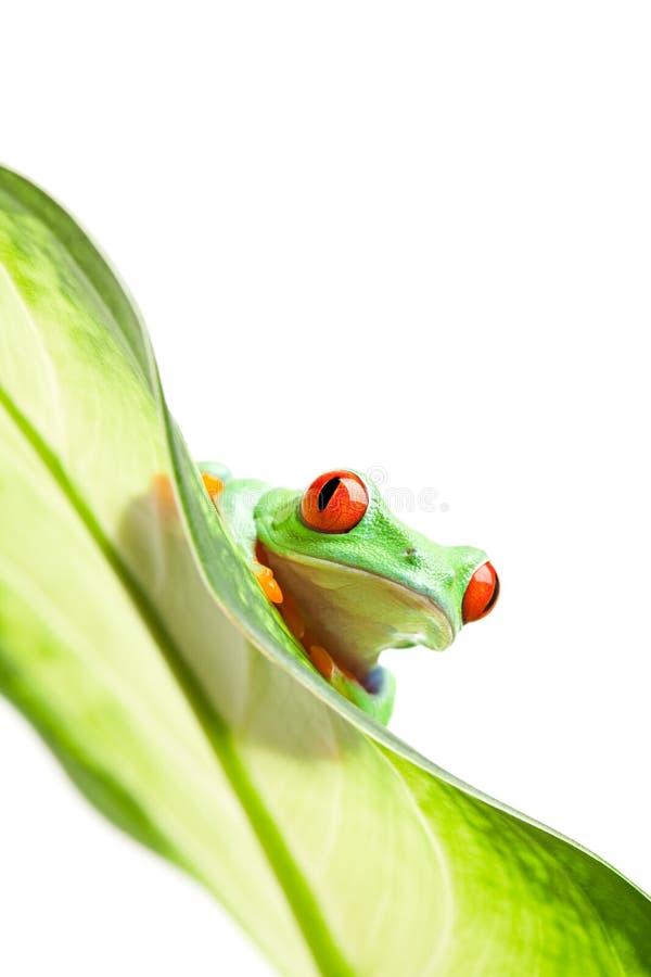 Frosch auf einem Blatt getrennten Weiß stockfoto
