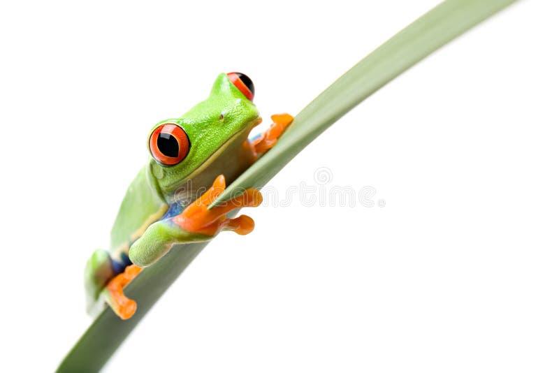 Frosch auf einem Blatt getrennten Weiß stockbild