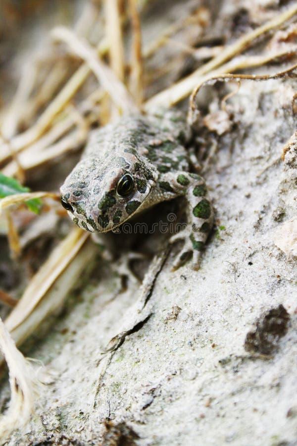 Frosch auf Erde stockfotos