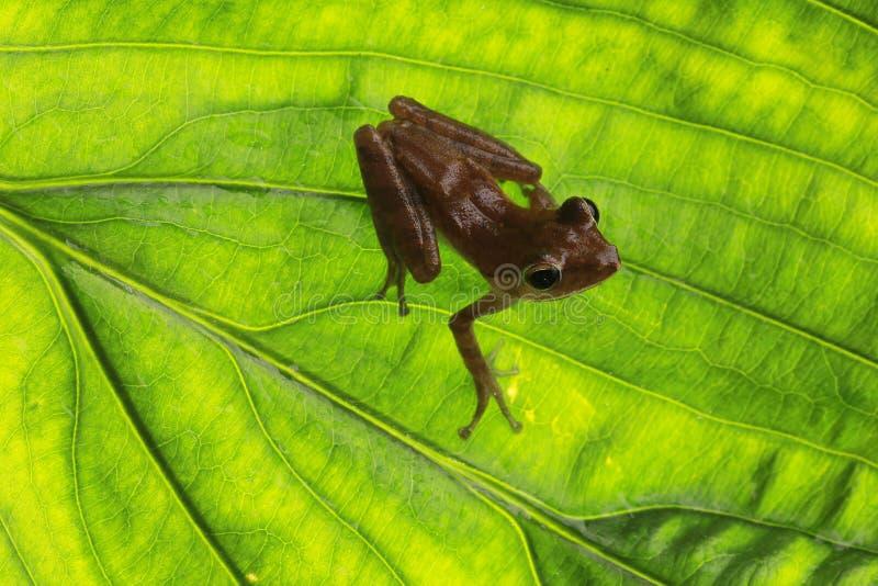 Frosch auf grünem Blatt stockbilder