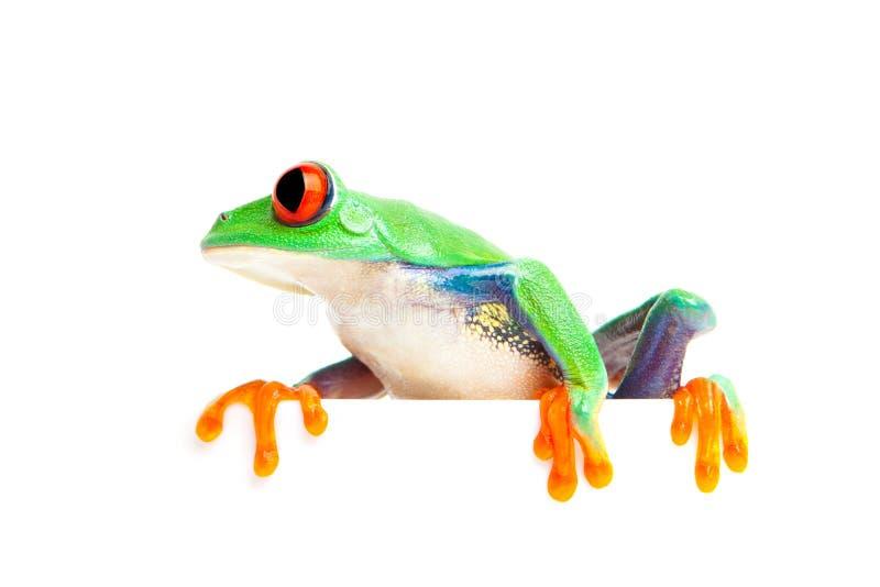 Frosch auf Rand getrenntem Weiß stockbilder