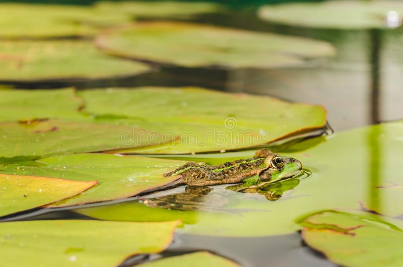 Frosch Auf Seerosebl?ttern auf einer Wasseroberfl?che die Froschl?gen stockbild