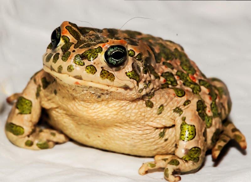 Frosch auf Stein, digitales Fotobild als Hintergrund stockfoto