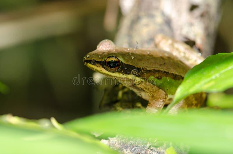 Frosch, der auf einem schönen grünen Laub des Baumasts A sitzt lizenzfreie stockfotografie