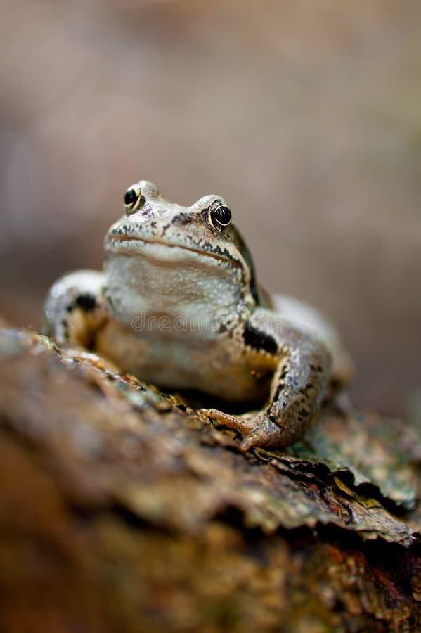 Frosch, der auf Protokoll am Wald sitzt lizenzfreie stockbilder
