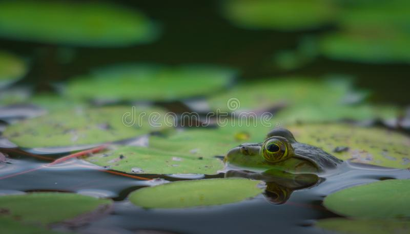 Frosch, der auf seine Mahlzeit wartet, um entlang zu kommen lizenzfreie stockbilder