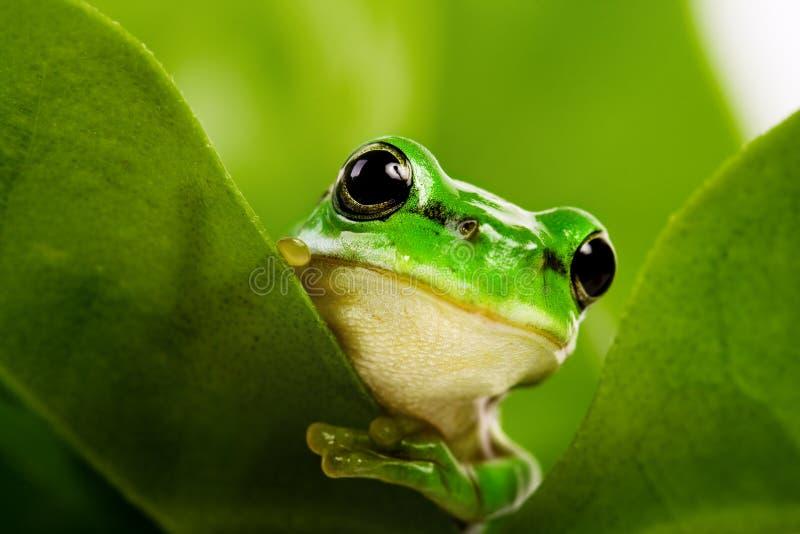 Frosch, der heraus späht lizenzfreie stockfotografie