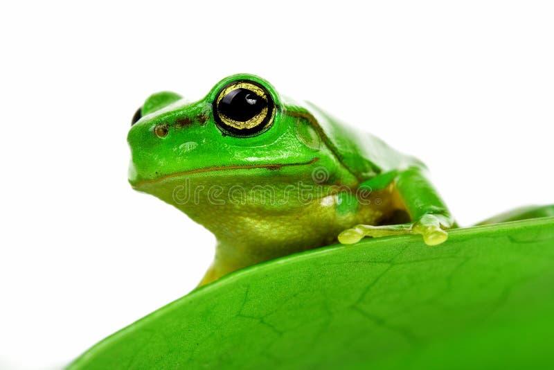 Frosch, der heraus späht stockfotografie