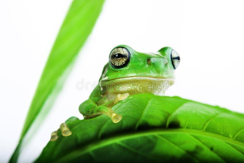 Frosch, der heraus von hinten die Blätter späht lizenzfreies stockfoto
