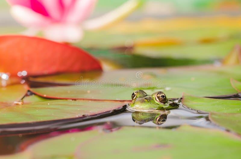 Frosch Der Frosch schaut aus Wasser in einem Teich heraus nahe einer Lilienblume Sch?ne Natur lizenzfreies stockfoto