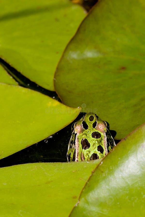Frosch, der unter Lilypads sich versteckt lizenzfreie stockfotografie