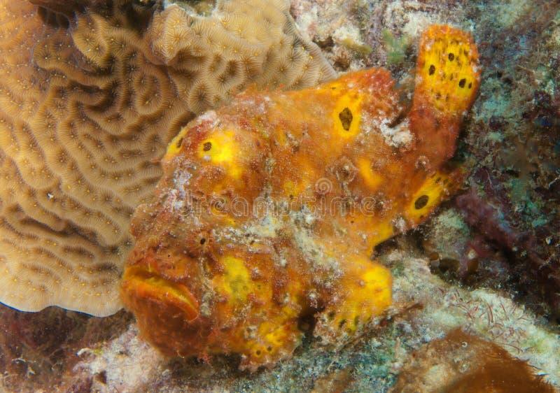 Frosch-Fische bei der Aufwartung lizenzfreie stockfotografie