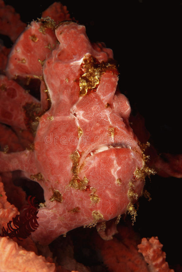 Frosch-Fische oder Anglerfish stockbild