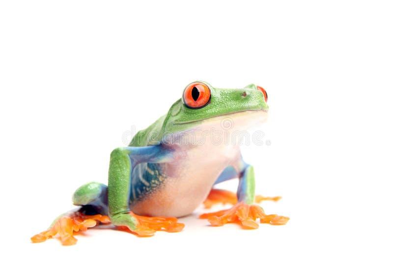 Frosch getrennt auf Weiß stockfotografie