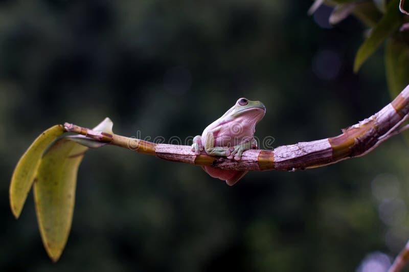 Frosch-Haltung an der Orchidee lizenzfreies stockbild