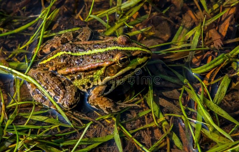 Frosch im Fluss in der Sommersaison stockfoto