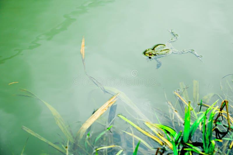 Frosch im wasser- Stillstehen auf Wasser auf der Oberfläche stockbilder