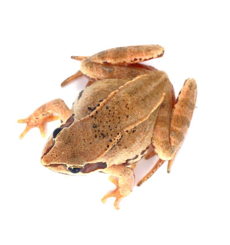 Frosch oben lizenzfreie stockfotografie