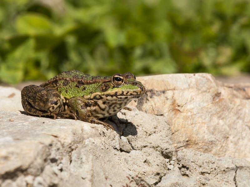 Frosch oder Grünfrosch, Pelophylax perezi, Sonnenbaden auf Felsfelsen Leon, Spanien lizenzfreie stockfotografie