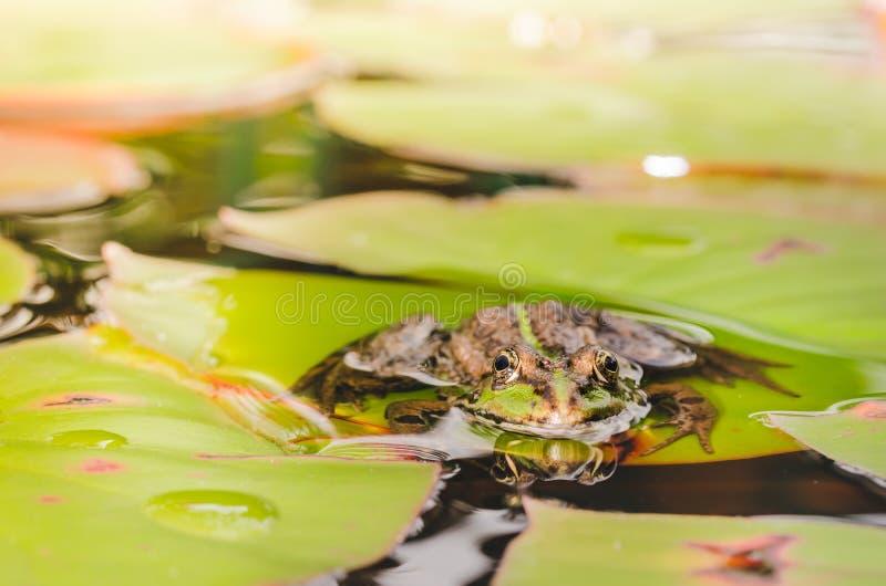 Frosch Sch?ne Natur Frosch, der auf dem Lilienblatt im Teich sitzt lizenzfreie stockfotos