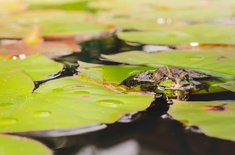 Frosch Sch?ne Natur Frosch, der auf dem Lilienblatt im Teich sitzt stockfoto