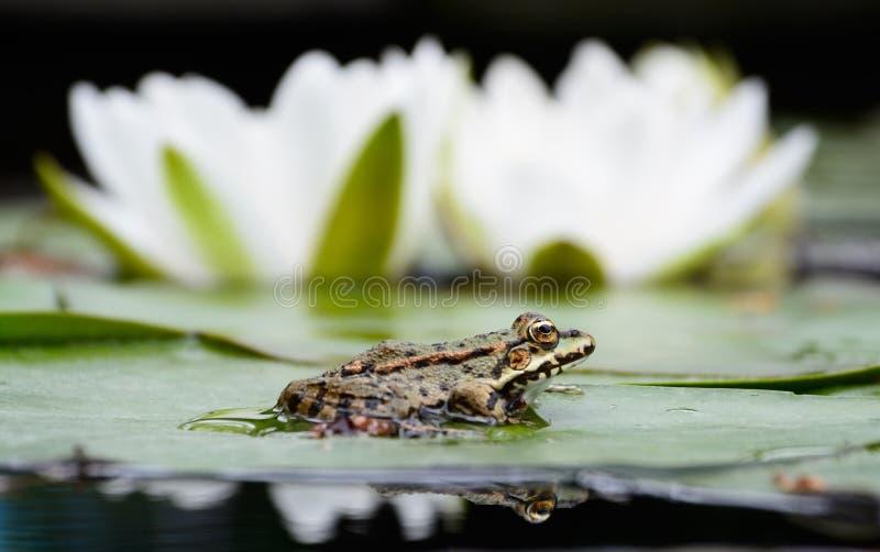 Frosch sitzt auf dem grünen Blatt nahe Lilie lizenzfreies stockbild