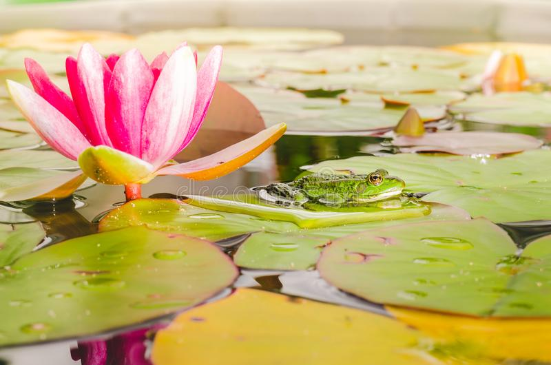 Frosch und Blume einer Lilie Sch?ne Natur Frosch auf einem Blatt einer Seerose in einem Teich nahe einer Lilienblume stockfotografie