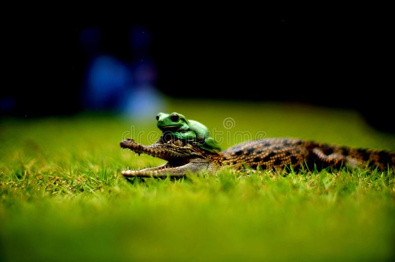 Frosch und Krokodil stockbilder