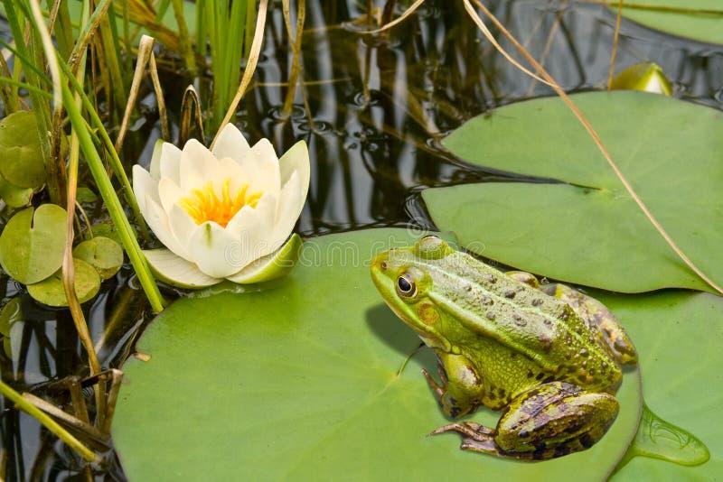 Frosch und Lilie lizenzfreie stockbilder