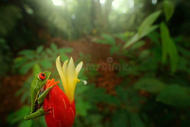 Frosch von Costa Rica, Weitwinkelobjektiv Tropischer Wald der Szene der wild lebenden Tiere, Tier im Lebensraum Tier im Dschungel stockbilder