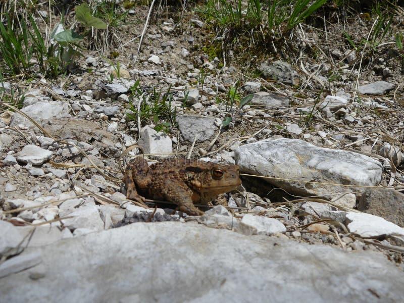 Frosch. Wandern in Deutschland und Froschbeobachtet in der schönen Natur royalty free stock photography