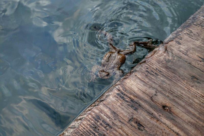 Froschschwimmen im Wasser nahe dem hölzernen Bodenbelag lizenzfreie stockfotografie