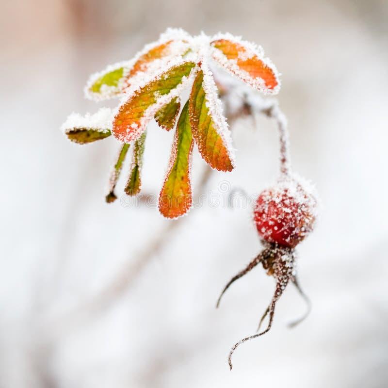 Download Frosen rose bush stock image. Image of season, nature - 12201355