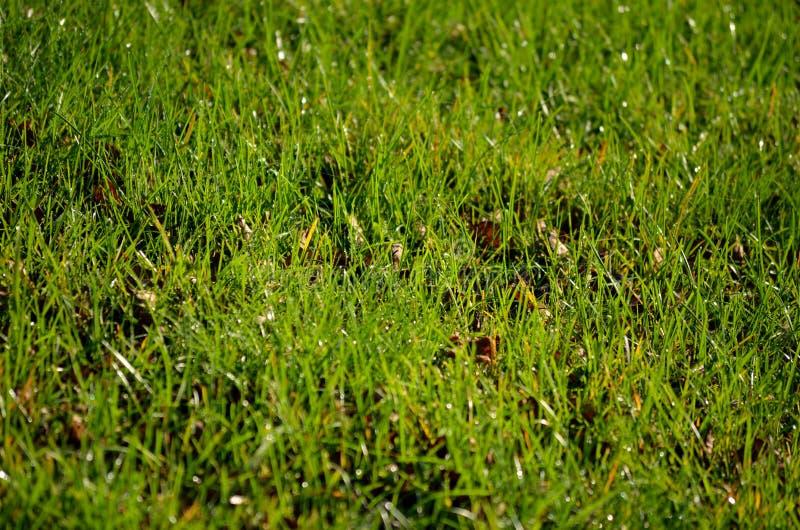 Frost и роса покрыли зеленую траву в предыдущем утре осени стоковые изображения rf