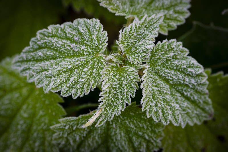 Frost на крапивах и траве стоковое изображение
