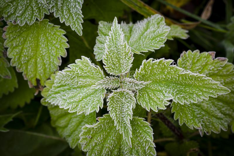 Frost на крапивах и траве стоковая фотография